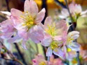てんすい桜